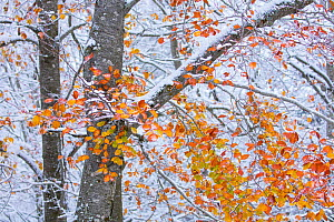 Beech (Fagus sylvatica) woodland with dusting of snow and autumn leaves on branch, Sierra Cebollera Natural Park, La Rioja, Spain. November.  -  Juan  Carlos Munoz
