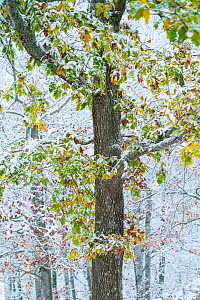 Oak (Quercus sp) woodland in autumn with snow, Sierra Cebollera Natural Park, La Rioja, Spain. November.  -  Juan  Carlos Munoz