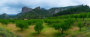 Almond (Prunus amygdalus) orchard with En Benet Rocks /  Roques de Benet in background, The Ports Natural Park,  Terres de l'Ebre, Catalonia, Spain. April 2017.  -  Juan  Carlos Munoz