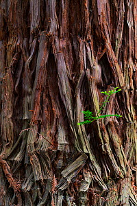 Coast redwood (Sequoia sempervirens) bark, Natural Monument Sequoia Mount Cabezon, Cabezon de La Sal, Cantabria, Spain. May.  -  Juan  Carlos Munoz