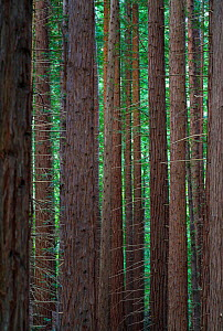Coast redwood (Sequoia sempervirens) tree trunks, Natural Monument Sequoia Mount Cabezon, Cabezon de La Sal, Cantabria, Spain. May.  -  Juan  Carlos Munoz