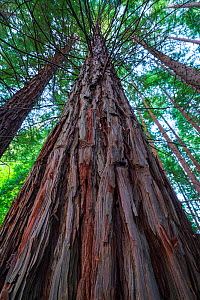 Coast redwood (Sequoia sempervirens) trees, Natural Monument Sequoia Mount Cabezon, Cabezon de La Sal, Cantabria, Spain. May.  -  Juan  Carlos Munoz