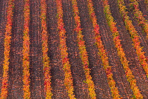 Rows of vines in vineyard in autumn, La Rioja, Sierra De Cantabria, Alava, Basque Country, Spain. November 2017.  -  Juan  Carlos Munoz