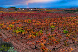 Vineyard in autumn, La Rioja, Alava, Basque Country, Spain. November 2017.  -  Juan  Carlos Munoz