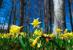 Daffodil (Narcissus pseudonarcissus), Gorbeia Natural Park, Alava, Basque Country, Spain. March.  -  Juan  Carlos Munoz