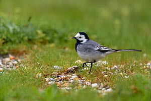 Pied wagtail (Motacilla alba) in grass. Vendee, Pays-de-la-Loire, France. April.  -  Loic Poidevin