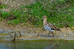 Common snipe (Gallinago gallinago) at edge of water. Le Teich, Gironde, Nouvelle-Aquitaine, France. April.  -  Loic Poidevin