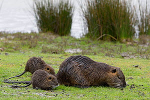 Coypu (Myocastor coypus) female and young feeding on grass. Le Teich, Gironde, Nouvelle-Aquitaine, France. April.  -  Loic Poidevin