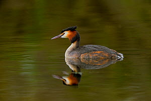 Great crested grebe (Podiceps cristatus) swimming. Le Teich, Gironde, Nouvelle-Aquitaine, France. April.  -  Loic Poidevin
