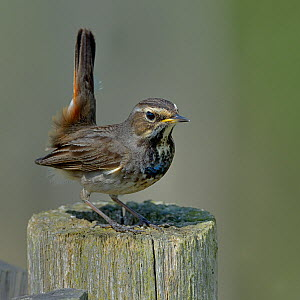 Bluethroat (Luscinia svecica) female on post. Vendee, Pays-de-la-Loire, France. April. - Loic Poidevin