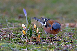 Chaffinch (Fringilla coelebs) standing beside Crocus (Crocus sp.) in grass, Vendee, Pays-de-la-Loire, France. March.  -  Loic Poidevin