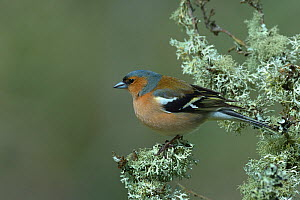 Chaffinch (Fringilla coelebs) on branch, Vendee, Pays-de-la-Loire, France. April.  -  Loic Poidevin