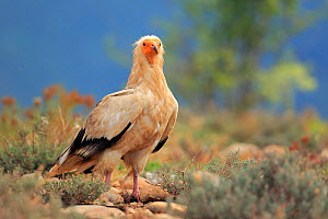 Egyptian vulture (Neophron percnopterus)  on ground, Solsona, Lleida, Spain, July.  -  Andres M. Dominguez