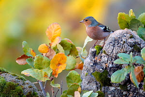 Common chaffinch (Fringilla coelebs) male on rock, Grazalema, Spain, December  -  Andres M. Dominguez