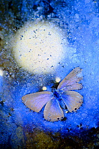 Blue butterfly (Lycaenidae) frozen in ice,  Cortes de la Frontera,  Los Alcornocales Natural Park. Spain. Highly commended in the Other animals category of the GDT European Wildlife Photographer of th... - Andres M. Dominguez