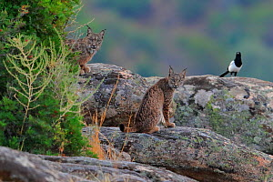 Iberian lynx (Lynx pardinus) with Magpie (Pica pica) behind, Sierra de Andujar Natural Park, Jaen, Spain, September. - Andres M. Dominguez