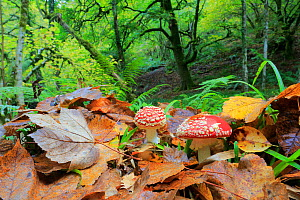 Fly agarics (Amanita muscaria)  Muniellos National Park, Asturias, Spain. October  -  Andres M. Dominguez