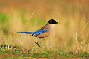 Iberian magpie (Cyanopica cooki) on ground, Sierra Morena. Spain, November. - Andres M. Dominguez