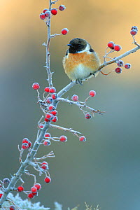 Common stonechat (Saxicola torquatus) on frost covered Common hawthorn (Crategus monogyna) berries, Sierra de Grazalema Natural Park, southern Spain, December. - Andres M. Dominguez