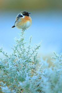 Common stonechat (Saxicola torquatus) on frost covered broom (Genista triacanthos) Sierra de Grazalema Natural Park, southern Spain, December. - Andres M. Dominguez