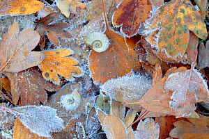 Frost covered Common hawthorn (Crategus monogyna) leaves, with Freshwater snail, Sierra de Grazalema Natural Park, southern Spain, December.  -  Andres M. Dominguez