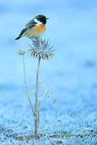 Common stonechat (Saxicola torquata) on frozen and dry thistle. Sierra de Grazalema Natural Park, southern Spain, December. - Andres M. Dominguez