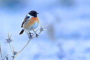 Common stonechat (Saxicola torquata) on frozen and dry thistle. Sierra de Grazalema Natural Park, southern Spain, January.  -  Andres M. Dominguez
