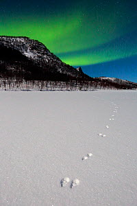 Footprints of Arctic hare (Lepus arcticus) with  Northern lights (Aurora borealis) over Senja, Norway. February  -  Andres M. Dominguez