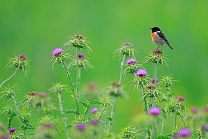 Common stonechat (Saxicola torquata) on thistle. Sierra de Grazalema Natural Park, southern Spain, May - Andres M. Dominguez