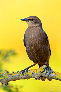 Spotless starling (Sturnus unicolor) perched on branch, Cadiz, Spain, July. - Andres M. Dominguez