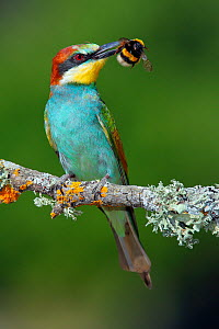 Bee-eater (Merops apiaster) with Bumblebee prey, Sierra de Grazalema Natural Park, southern Spain, July. - Andres M. Dominguez