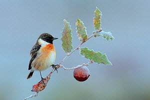 Common stonechat (Saxicola torquata) perched on frozen branch of Portuguese oak (Quercus faginea) Sierra de Grazalema Natural Park, southern Spain, January  -  Andres M. Dominguez