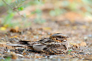 Red-necked nightjar (Caprimulgus ruficollis) on nest with eggs, Arcos de la Frontera, southern Spain, May - Andres M. Dominguez