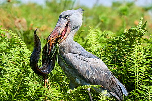 Shoebill stork (Balaeniceps rex) female feeding on a Spotted African lungfish (Protopterus dolloi) in the swamps of Mabamba, Lake Victoria, Uganda.. Sequence 2/13 - Eric Baccega