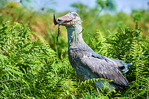 Shoebill stork (Balaeniceps rex) female feeding on a Spotted African lungfish (Protopterus dolloi) in the swamps of Mabamba, Lake Victoria, Uganda.. Sequence 12/13 - Eric Baccega