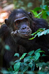 RF - Chimpanzee (Pan troglodytes schweinfurthii) portrait, male, Kibale National Park, Uganda. (This image may be licensed either as rights managed or royalty free.)  -  Eric Baccega