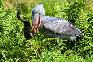 Shoebill stork (Balaeniceps rex) feeding on a Spotted African lungfish (Protopterus dolloi) in the swamps of Mabamba, Lake Victoria, Uganda. - Eric Baccega