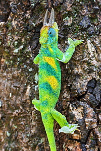 Jackson's three-horned chameleon (Trioceros jacksonii) climbing on tree. Bwindi Impenetrable Forest, Uganda.;Jackson's three-horned chameleon (Trioceros jacksonii) climbing on tree. Bwindi Impenetrabl...  -  Eric Baccega