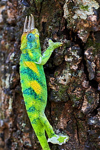 Jackson's three-horned chameleon (Trioceros jacksonii) climbing on tree. Bwindi Impenetrable Forest, Uganda.  -  Eric Baccega