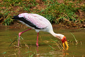 Yellow-billed stork (Mycteria ibis) sweeping the water for fish. Queen Elizabeth National Park, Uganda. - Eric Baccega
