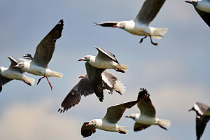 Grey headed gull (Chroicocephalus cirrocephalus) flock flying, Queen Elizabeth National Park, Uganda.  -  Eric Baccega