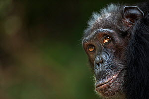 Eastern chimpanzee  (Pan troglodytes schweinfurtheii) female 'Sparrow' aged 55 years portrait.Gombe National Park, Tanzania.  -  Fiona Rogers