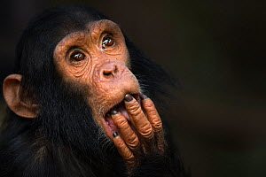 Eastern chimpanzee  (Pan troglodytes schweinfurtheii) infant male 'Fifty' aged 3 years portrait.Gombe National Park, Tanzania.  -  Fiona Rogers