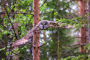 Great grey owl (Strix nebulosa) flying in woodland,  Northern Finland. May. - David Allemand