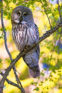 Great grey owl (Strix nebulosa) perched on branch, Finland. May. - David Allemand