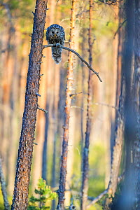 Ural owl (Strix uralensis) hunting, Sweden, May. - David Allemand