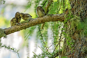 Eurasian pygmy owl (Glaucidium passerinum) adult feeding fledglings,  Ecrins National Park,  Alps, France, June. - David Allemand