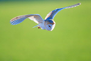 Barn owl (Tyto alba) flying, UK, January. - David Allemand