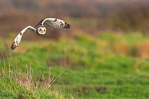 Short-eared owl (Asio flammeus) flying, Vendee, France, February. - David Allemand