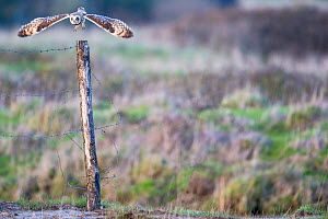 Short-eared owl (Asio flammeus) taking off from fence post, Vendee,  France, February. - David Allemand